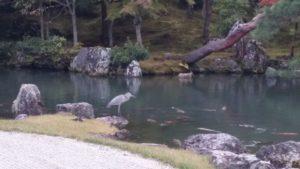 Do chrámu Tenrjú-dži si volavka létá jako do samoobsluhy pro večeři. Akorát jsou už všechny ryby moc velké.